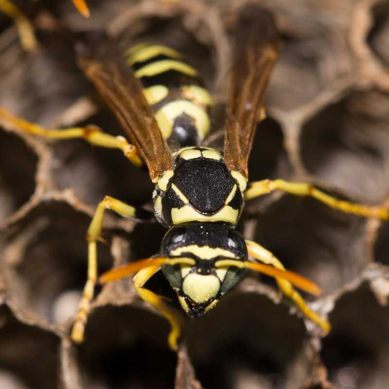 Liberty Termite & Pest Control - Wasps