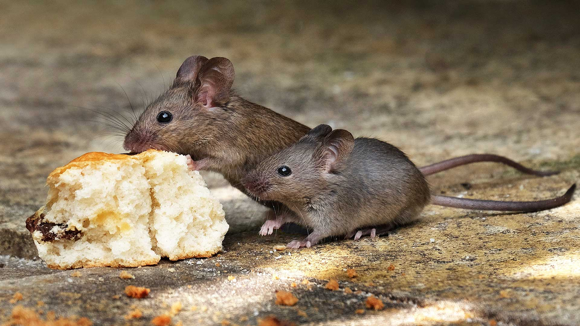 Liberty Termite & Pest Control - Mice