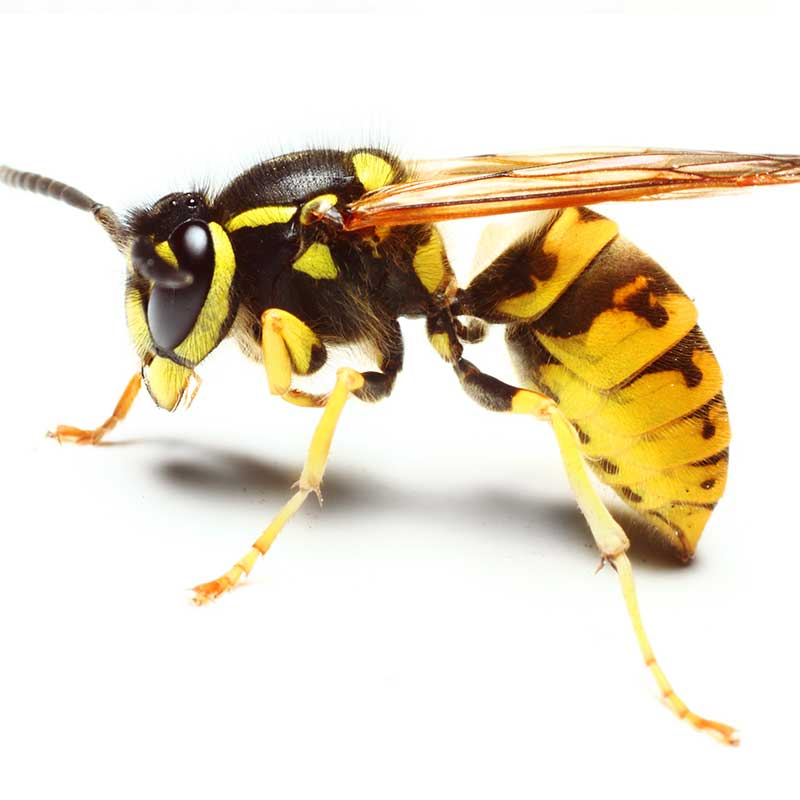 Liberty Termite & Pest Control - Yellow Jackets